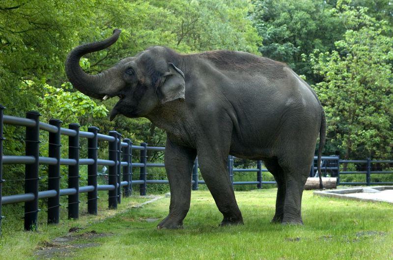 ماذا يطلق على صوت الفيل ؟
