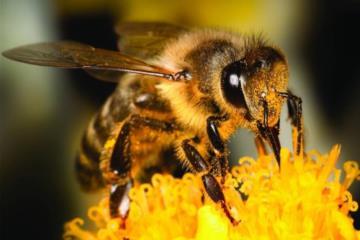 ماذا يطلق على صوت النحل ؟