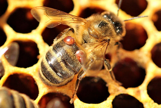 من المسئول عن وضع البيض في مملكة النحل؟