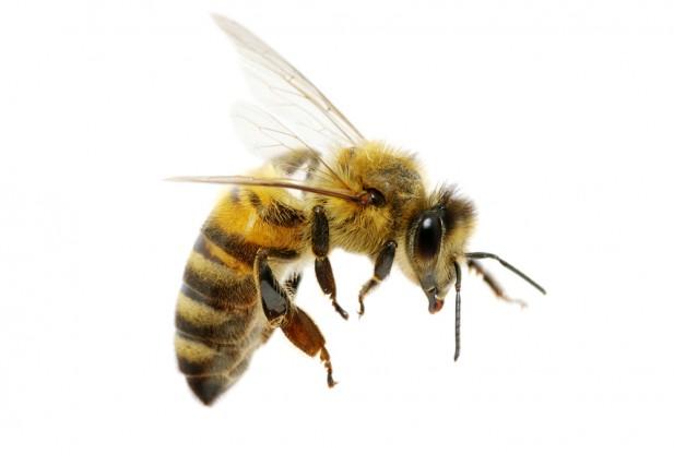 كم عدد العيون في رأس النحلة ؟