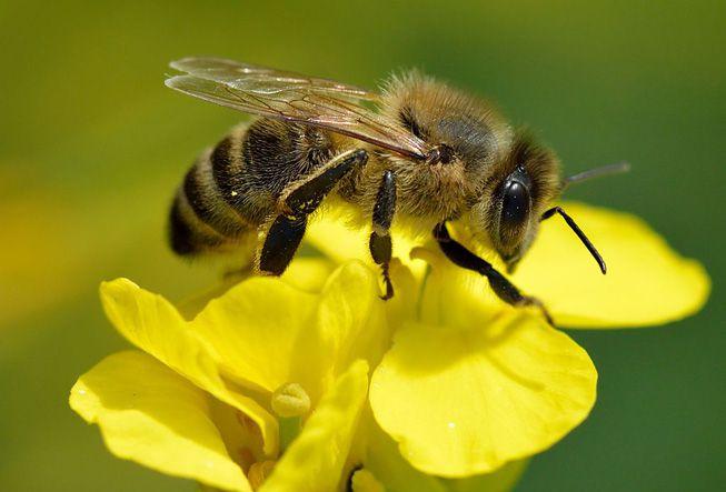 على ماذا يتغذى النحل؟