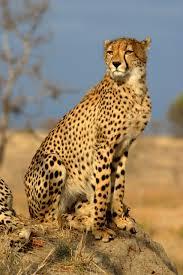 ما اسم أنثى الفهد ؟