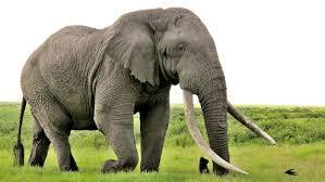 ماذا تسمى أنثى الفيل؟