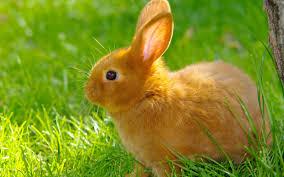 ما الاسم الذي يطلق على أنثى الأرنب؟
