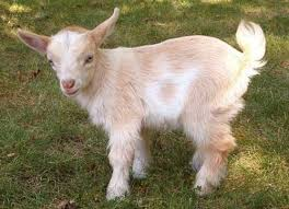 ماذا يسمى صغير الماعز؟