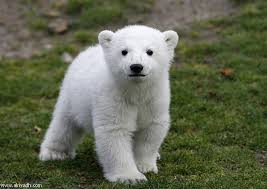 ماذا يسمى صغير الدب؟